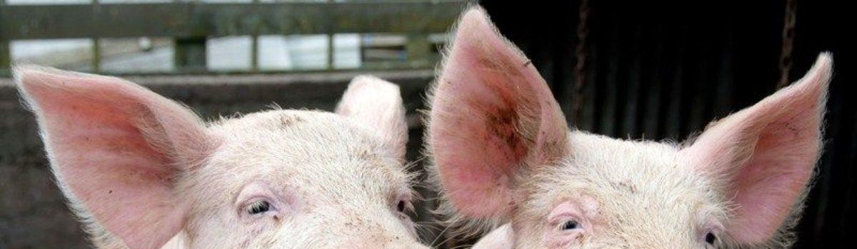 Subsidieregeling sanering varkenshouderij